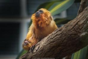 Filhotes de mico-leão-dourado podem ser vistos no recinto dos primatas do Zooparque