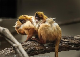 Zooparque registra nascimento de filhotes de mico-leão-dourado