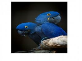Três filhotes de arara-azul nascem pela primeira vez no Zooparque