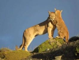 Rede Tierra Hotels lança informativo sobre os pumas, verdadeiras atrações turísticas da Patagônia Chilena