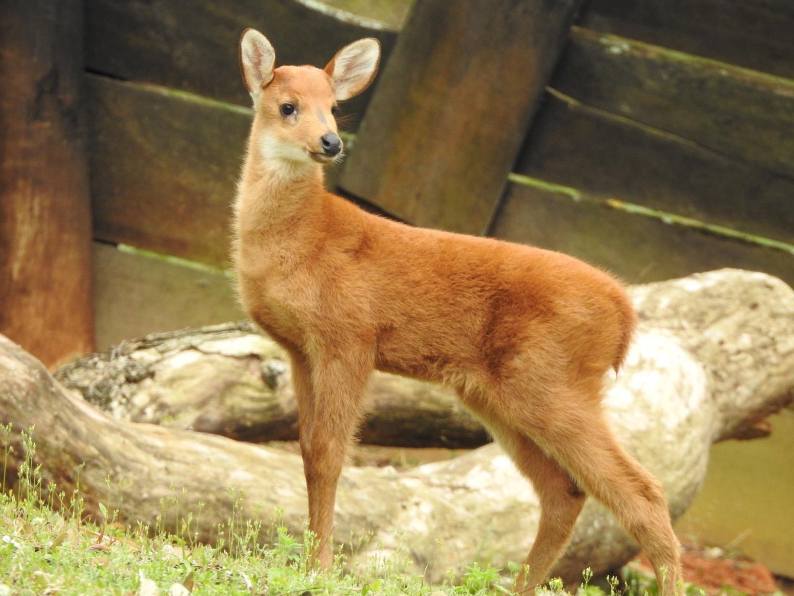 Zooparque comemora o nascimento de cervo-do-pantanal