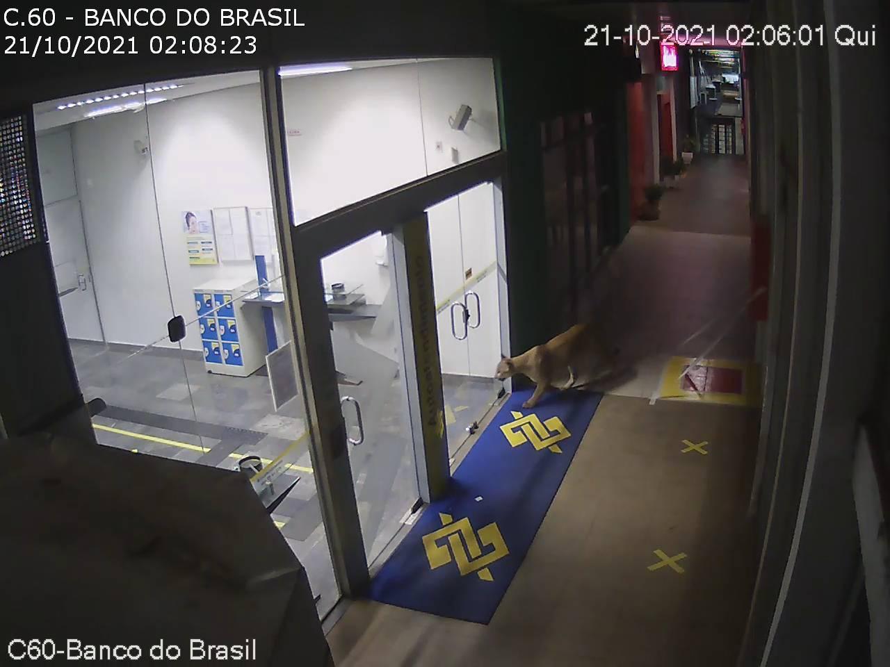 Onça-parda é flagrada circulando nas dependências da Ceasa Campinas